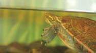 Turtle floating, coming up for air  Stock Footage