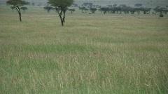 Cheetah running after a gazelle Stock Footage