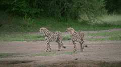 Cheetahs walking through a dry river bed Stock Footage