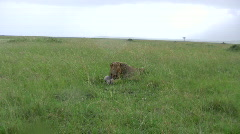 Zoom in of a lion eating Stock Footage