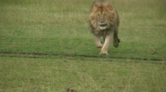 Lion running towards camera Stock Footage