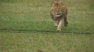 Stock Video Footage of lion running towards camera