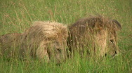 Lions fighting 1 Stock Footage