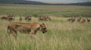 Stock Video Footage of lions walking through a group of gazelles