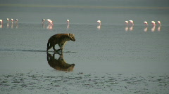 Reflection of hyena hunting flamingos in a lake 2 Stock Footage