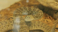 Stock Footage - Rattle Snake - North American Stock Footage