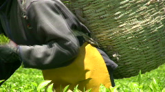 Tea picking by hands Stock Footage