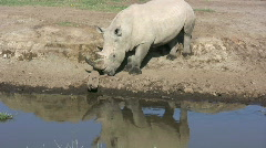 White rhino scratching his horn - stock footage