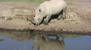 Stock Video Footage of White rhino scratching his horn