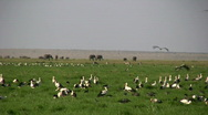 White storks and elephants Stock Footage