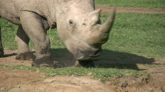 Zoom in of a white rhino in Nakuru park Stock Footage