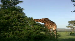 Zoom in of giraffe eating, with a bird on its back Stock Footage