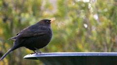 Blackbird Drinks From Bird Bath Stock Footage