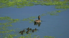 Family of ducks  Stock Footage