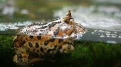 Surinam Horned Frog Stock Footage