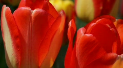 Spring Tulips Stock Footage