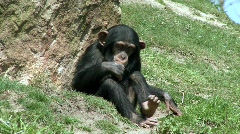 Chimpanzee baby - stock footage