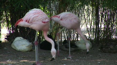 2 flamingos - stock footage