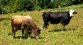 Cows HD Footage