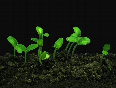 Stock Video Footage of Time-lapse of growing cucumbers ALPHA mate 4a (Cinema 2K)