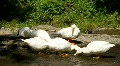 White ducks HD Footage