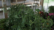 Cherry Tomato plants at farmer's auction  Stock Footage