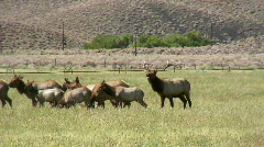 Bull elk bellowing Stock Footage