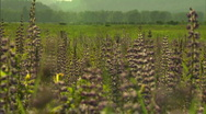 Stock Video Footage of Lupine Flower - pull