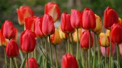 Spring Tulips - stock footage