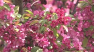 Lilac close-up Stock Footage