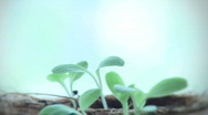 Stock Video Footage of Plant seedlings timelapse growing