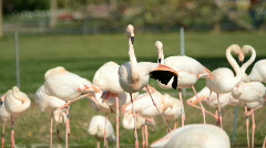 A group of Greater Flamingos (Phoenicopterus roseus) Stock Footage