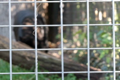 Black Jaguar pacing his cage Stock Footage