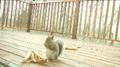 squirrel - stock footage