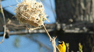 Stock Video Footage of Village Weaver bird (Ploceus cucullatus)