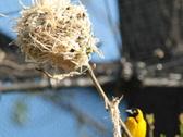 Stock Video Footage of Village Weaver bird (Ploceus cucullatus)