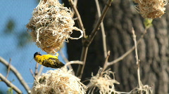Village Weaver bird (Ploceus cucullatus) Stock Footage