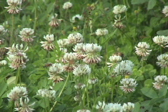 White Clover Field Stock Footage