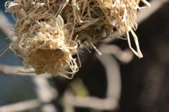 Village Weaver bird (Ploceus cucullatus) Stock Footage