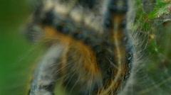 T181 catepiller catapiller fuzzy bug Stock Footage