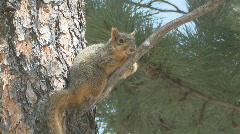 P00961 Fox Squirrel in Pine Tree Stock Footage