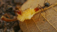 T182 ants ant moving food harvester Stock Footage