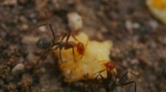 T182 ants ant moving hauling food harvester Stock Footage