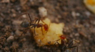 Stock Video Footage of t182 ants ant moving hauling food harvester