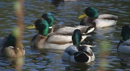Stock Video Footage of Ducks swimming in pond