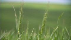 Palouse Wheat Field Lush Green 7 Stock Footage