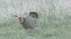 P00964 Male Prairie Chicken on Lek Stock Footage