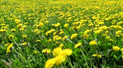 Dandelion Stock Footage