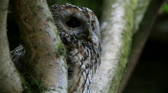 Brown owl Stock Footage