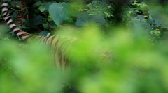 Tiger in jungle Stock Footage